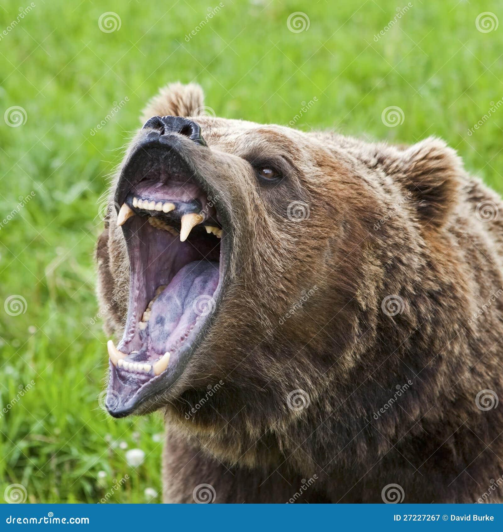Grizzly Bear Arctos Ursus Closeup Royalty Free Stock ...