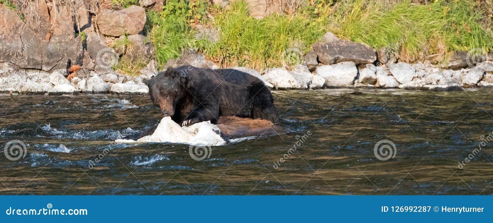 Grizzly Bear Boar Feeding On A Dead Buffalo Carcass In The Lehardy
