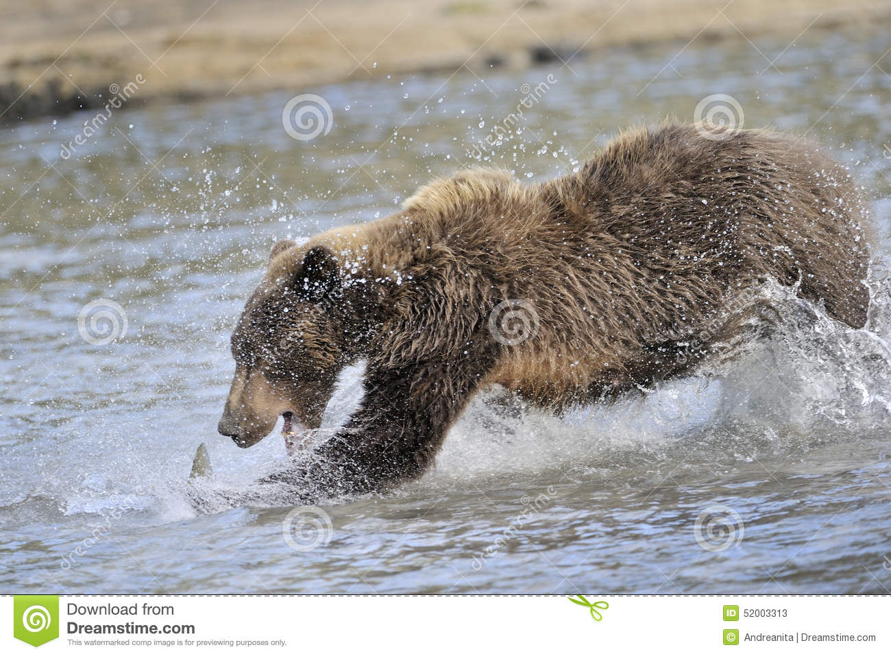 Grizzly bear catching fish stock photo image 52003313 for Bear catching fish