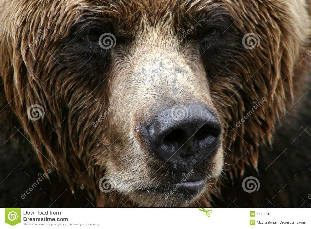 Grizzly bear face side - photo#17