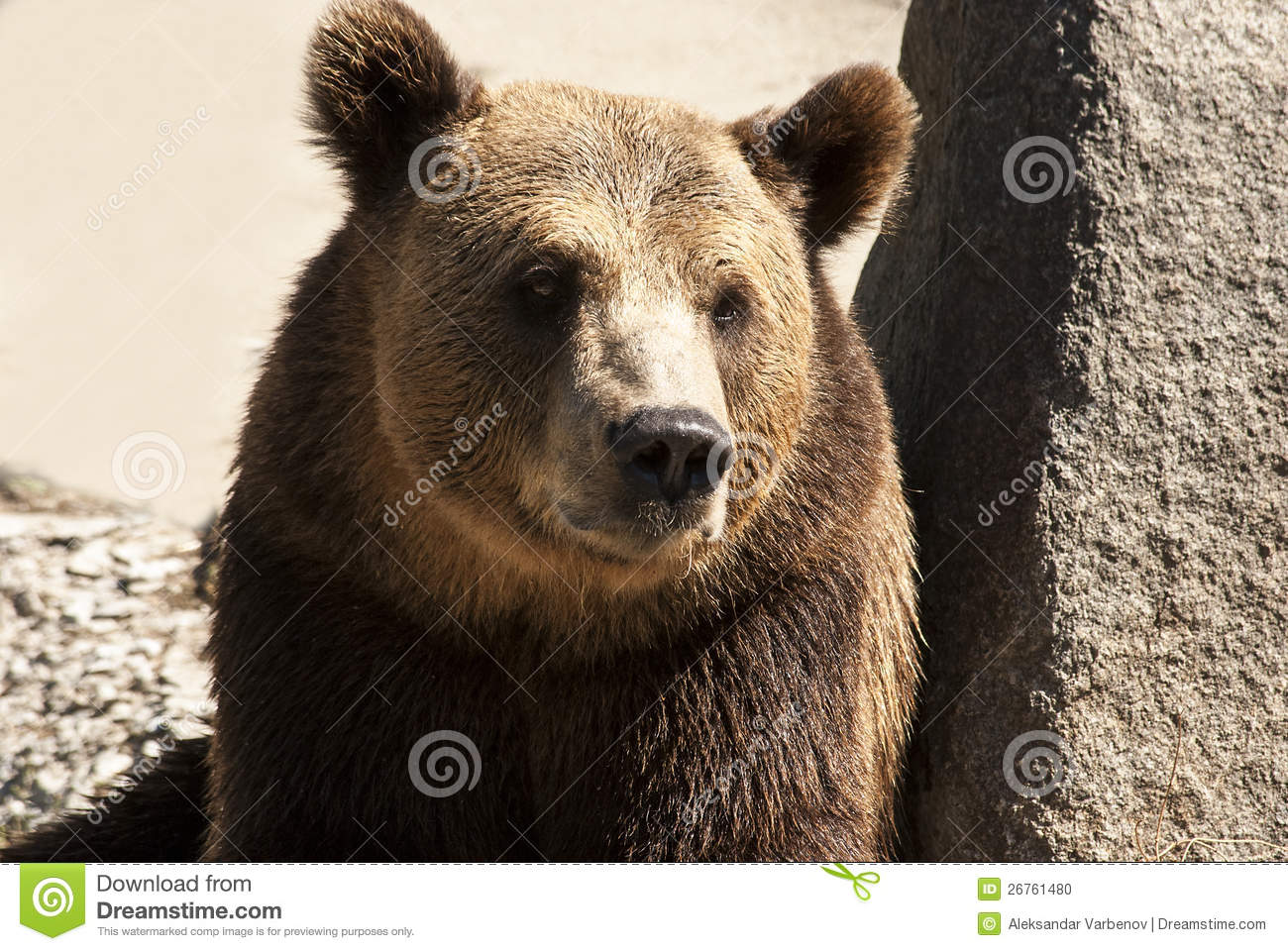 Grizzly bear face side - photo#13