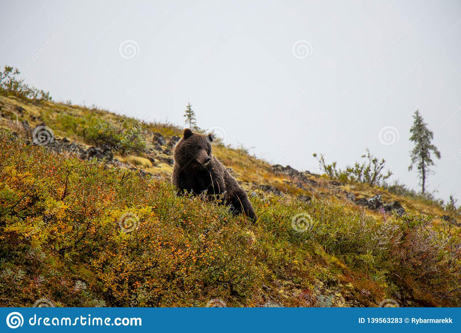 Grizzly bear at the Top of the world Highway, Dawson City - Alaska border, Yukon, Canada
