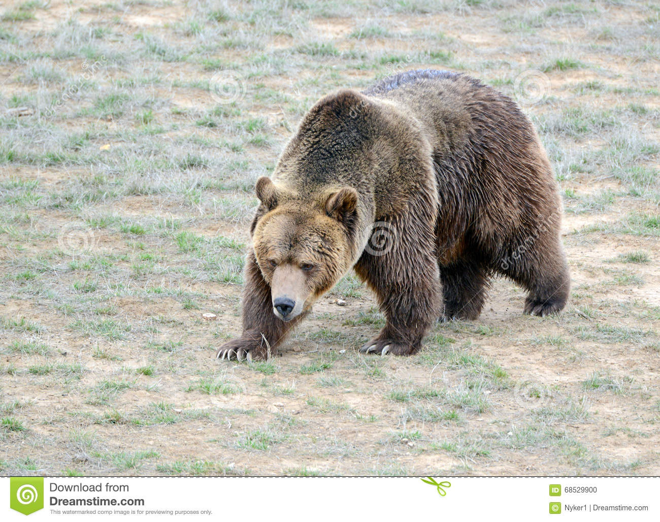 Grizzly Bear While On The California State Flag Has Been Extirpated From And Lives Only In Select Areas United States Including Limited