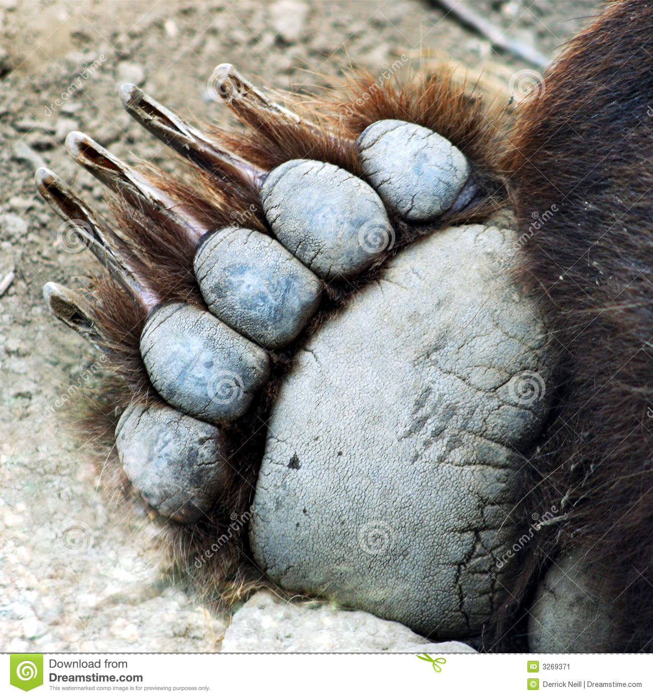 A Grizzly Bear Paw