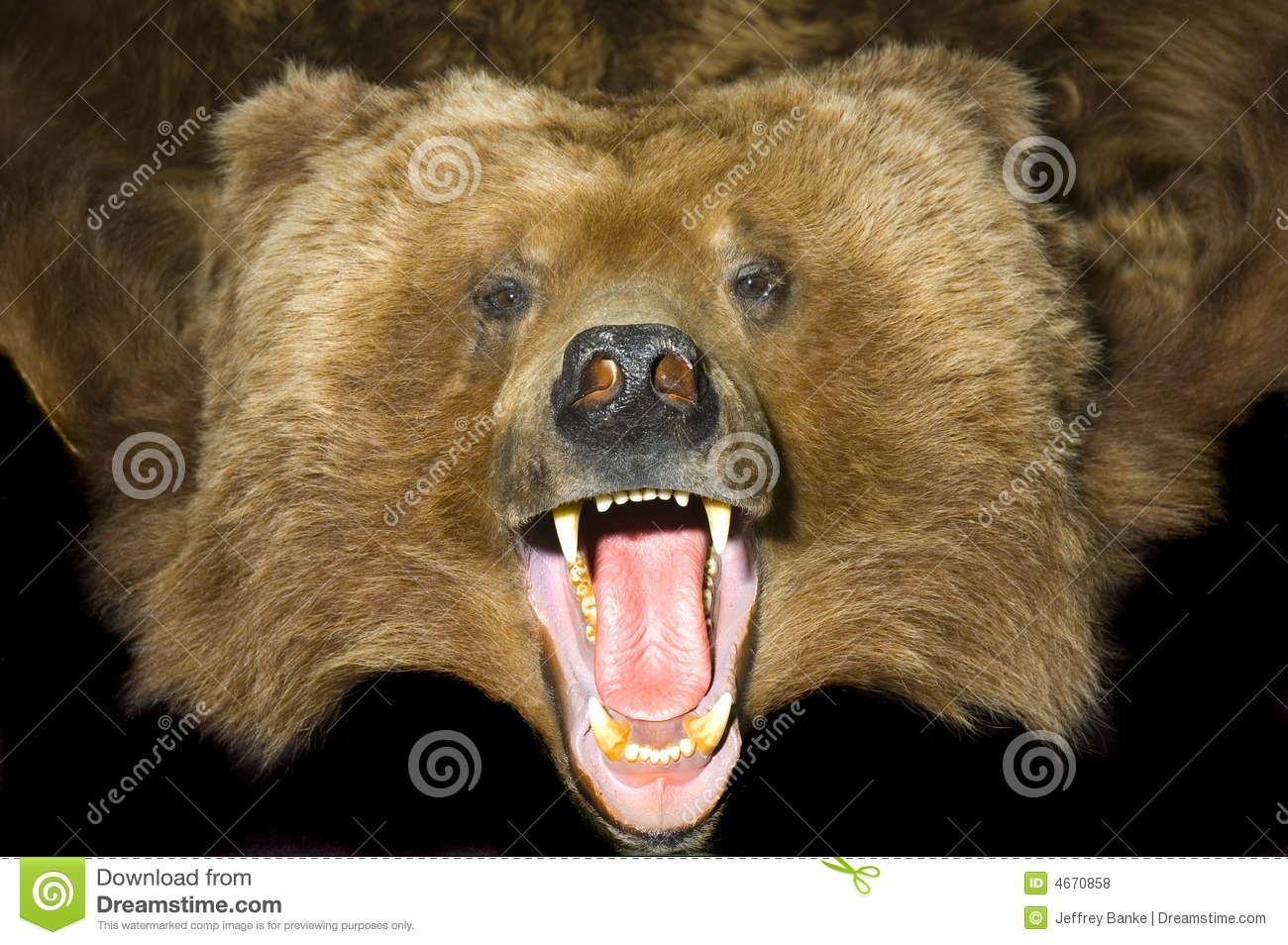 Grizzly Bear Pelt Stock Photo Image Of Open Grissly