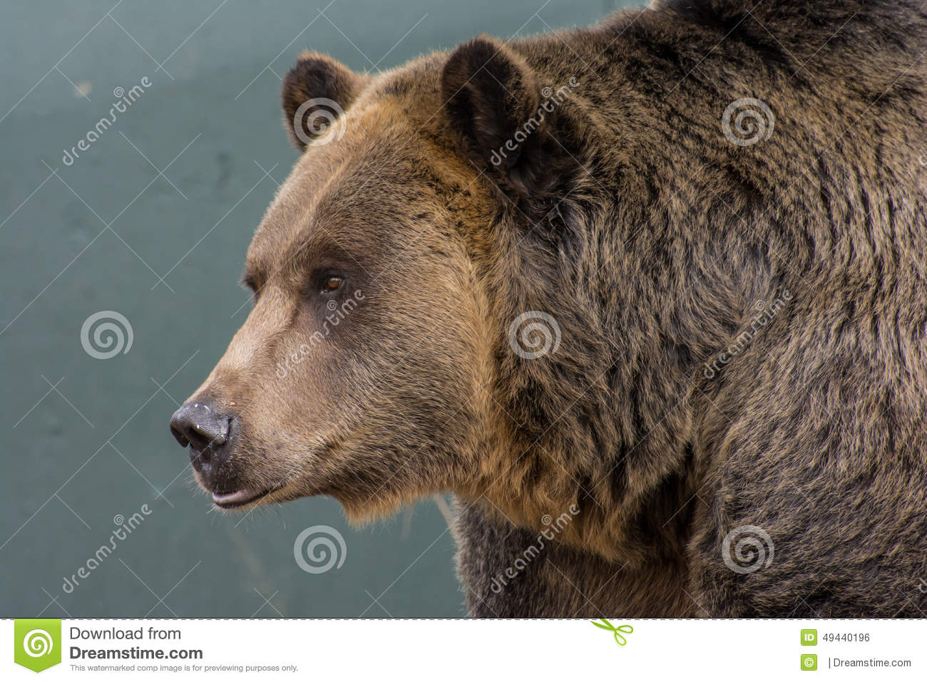 Grizzly bear face side - photo#19