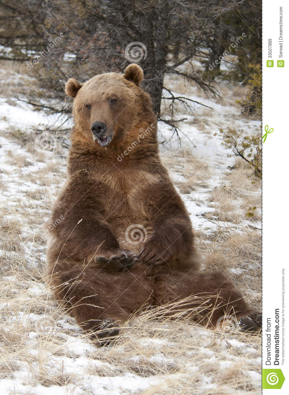 Grizzly bear sitting up - photo#30
