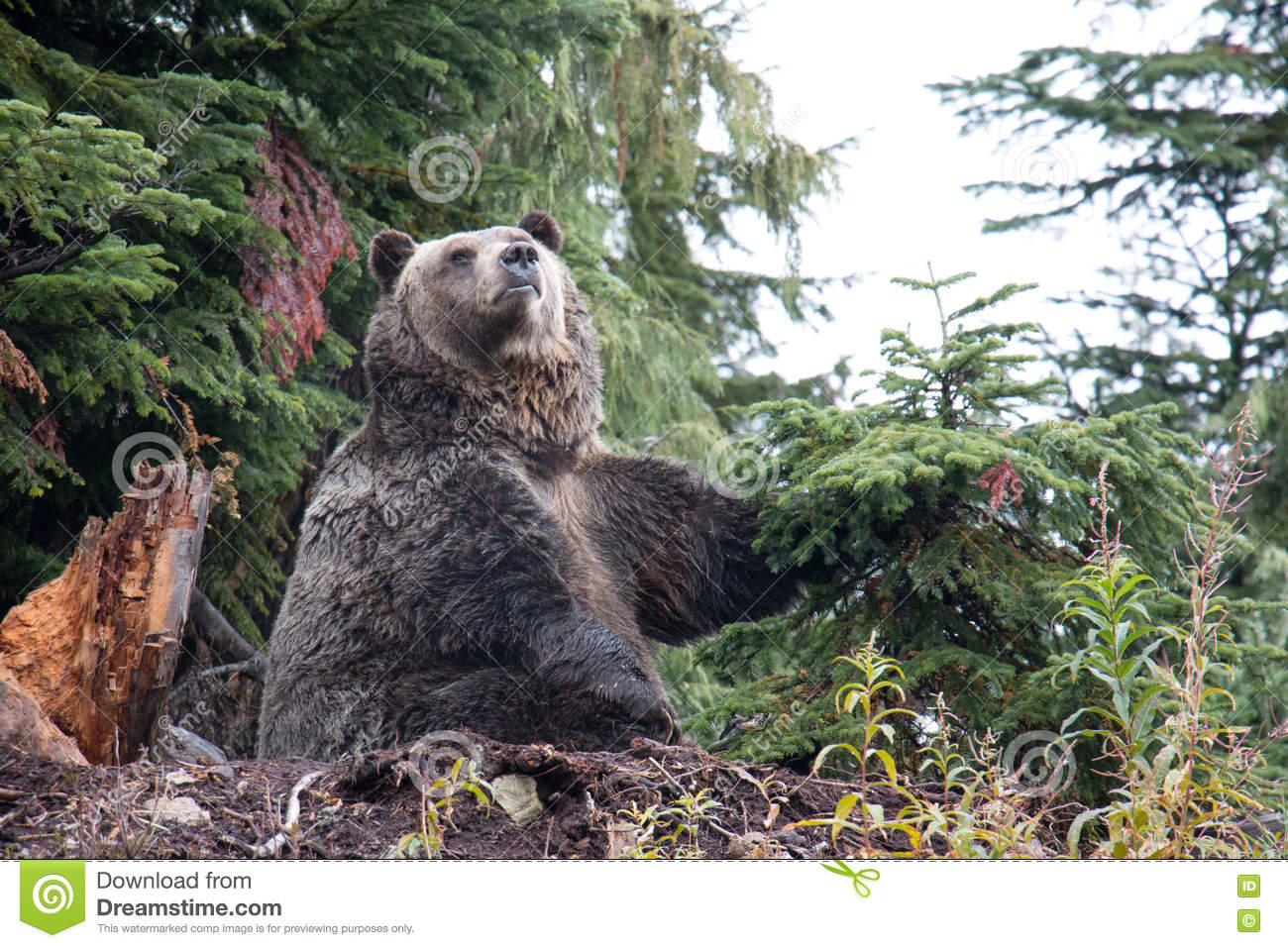 Grizzly bear striking a pose at Grouse Mountain, British Columbia