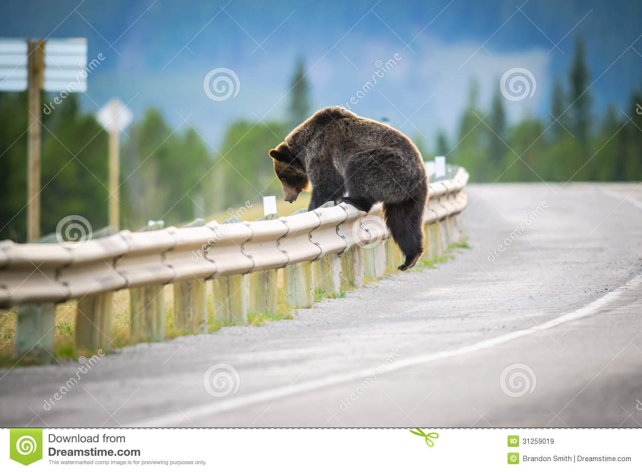 Adult Grizzly Bear crossing a highway, Kananaskis Country Alberta ...