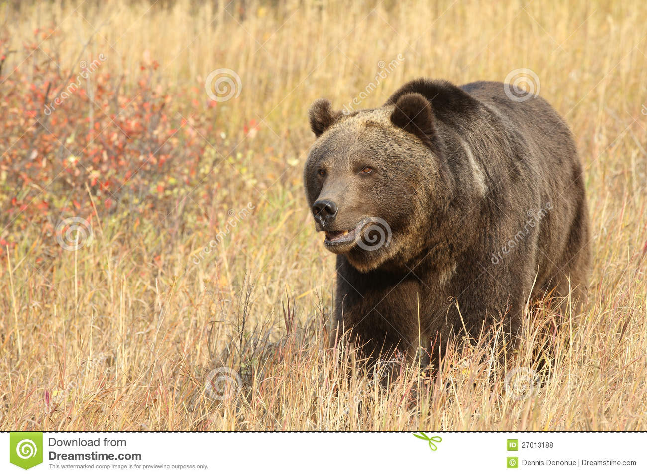 Grizzly bear walking - photo#18