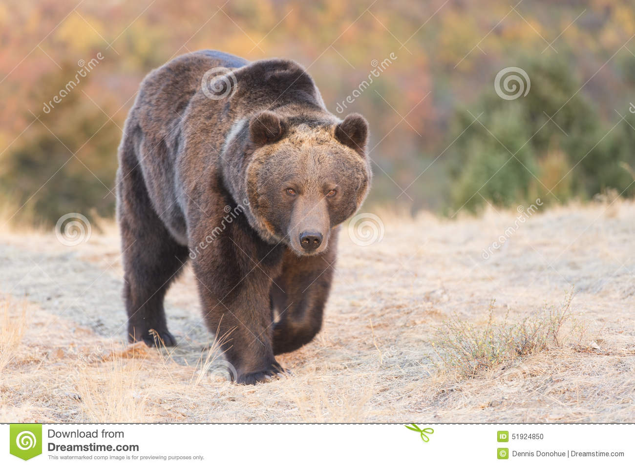 Grizzly bear walking - photo#22