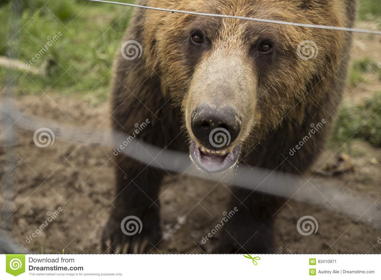 Grizzly bear in a zoo