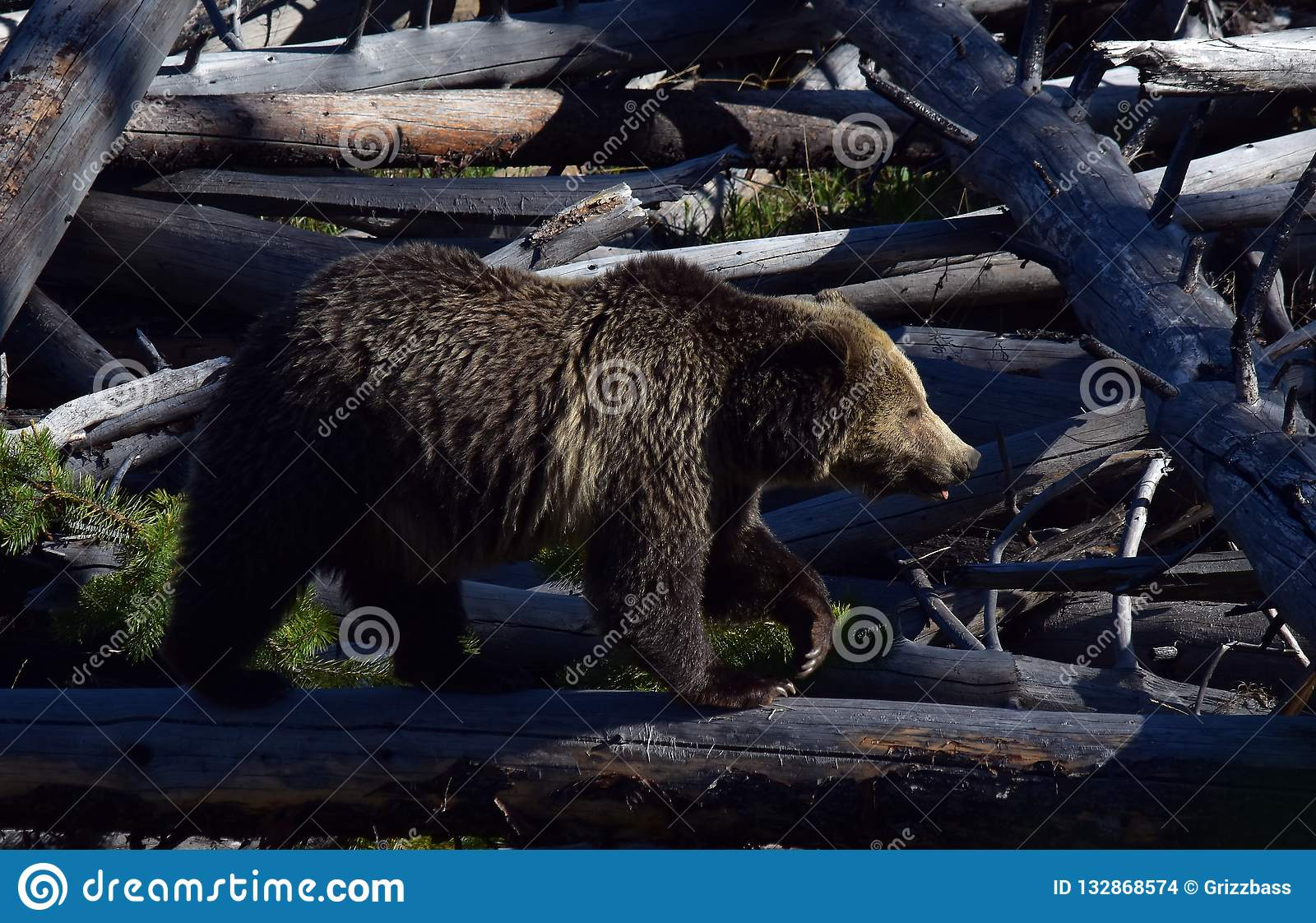 Grizzly crossing the logs