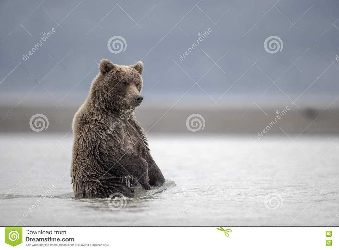Grizzly cub waiting for food.