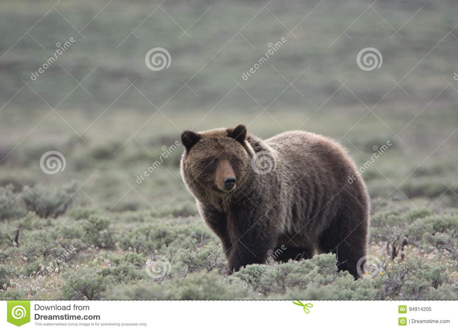 Grizzly niedźwiedź w Yellowstone parku narodowym