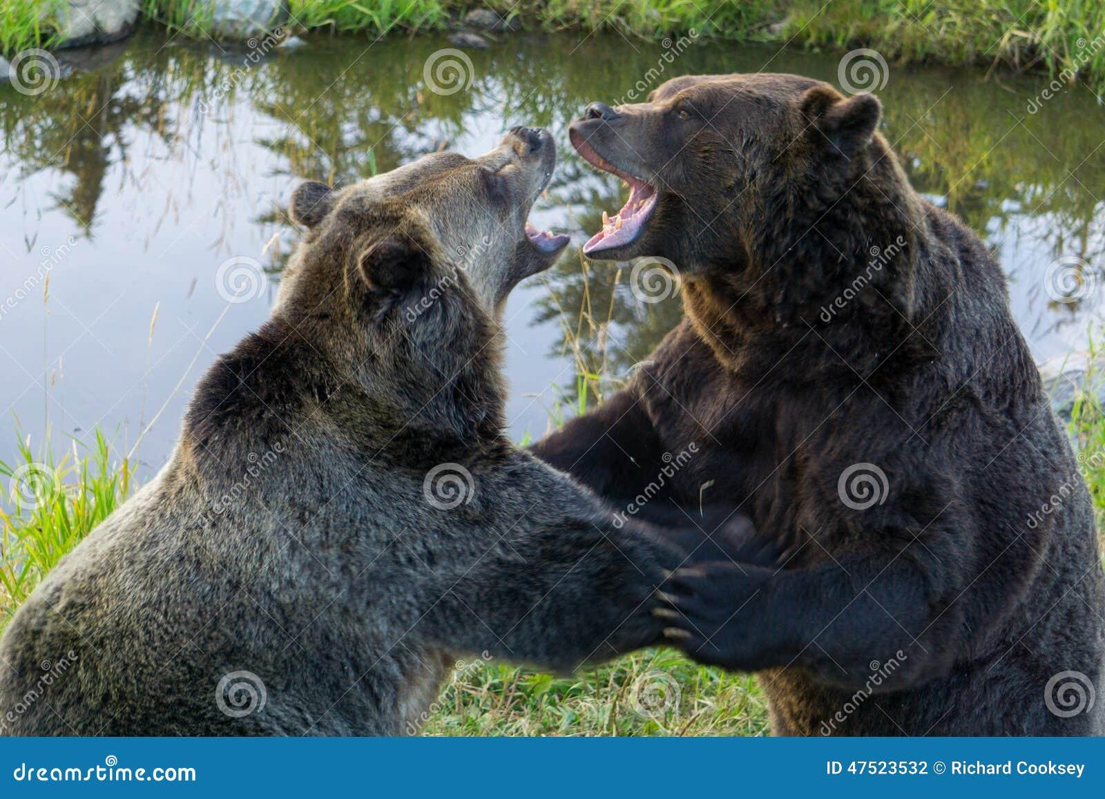 Grizzly niedźwiedzi walka