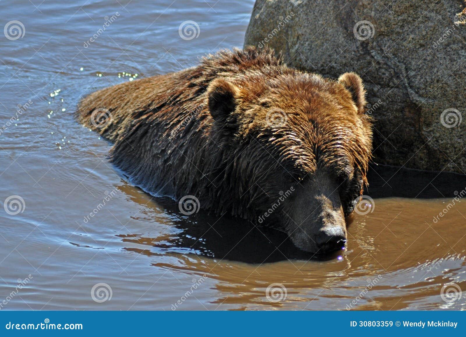 Grizzlybär im Wasser