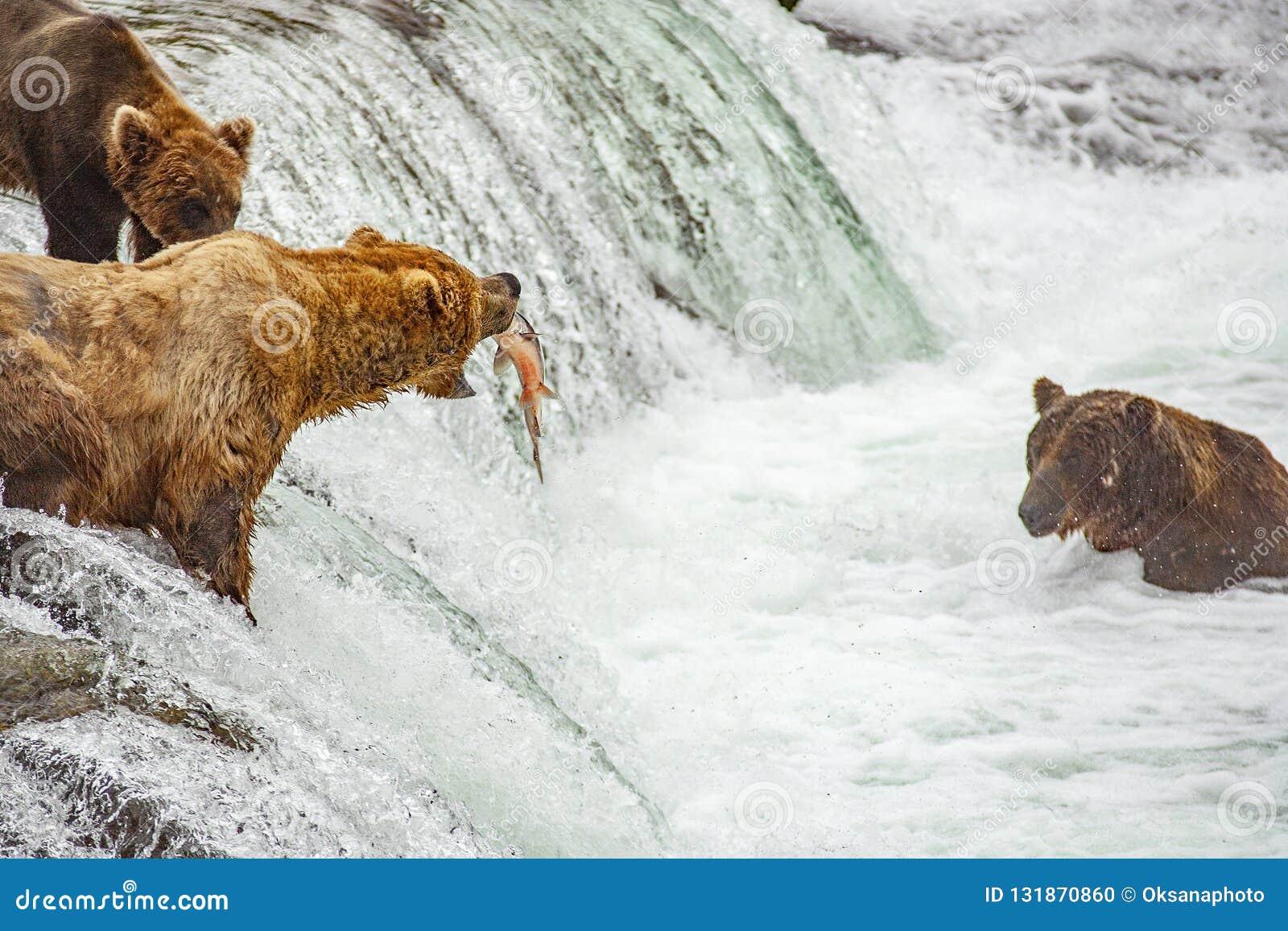 Grizzlybären, die für Lachse fischen