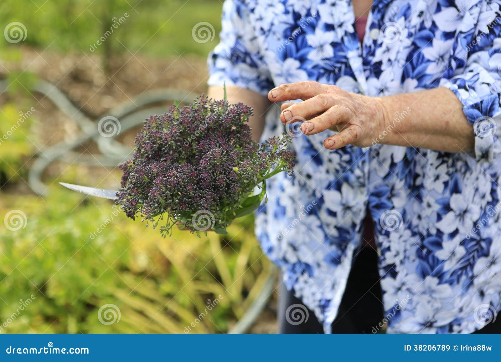 gr ner purpurroter brokkoli der im biogarten w chst. Black Bedroom Furniture Sets. Home Design Ideas