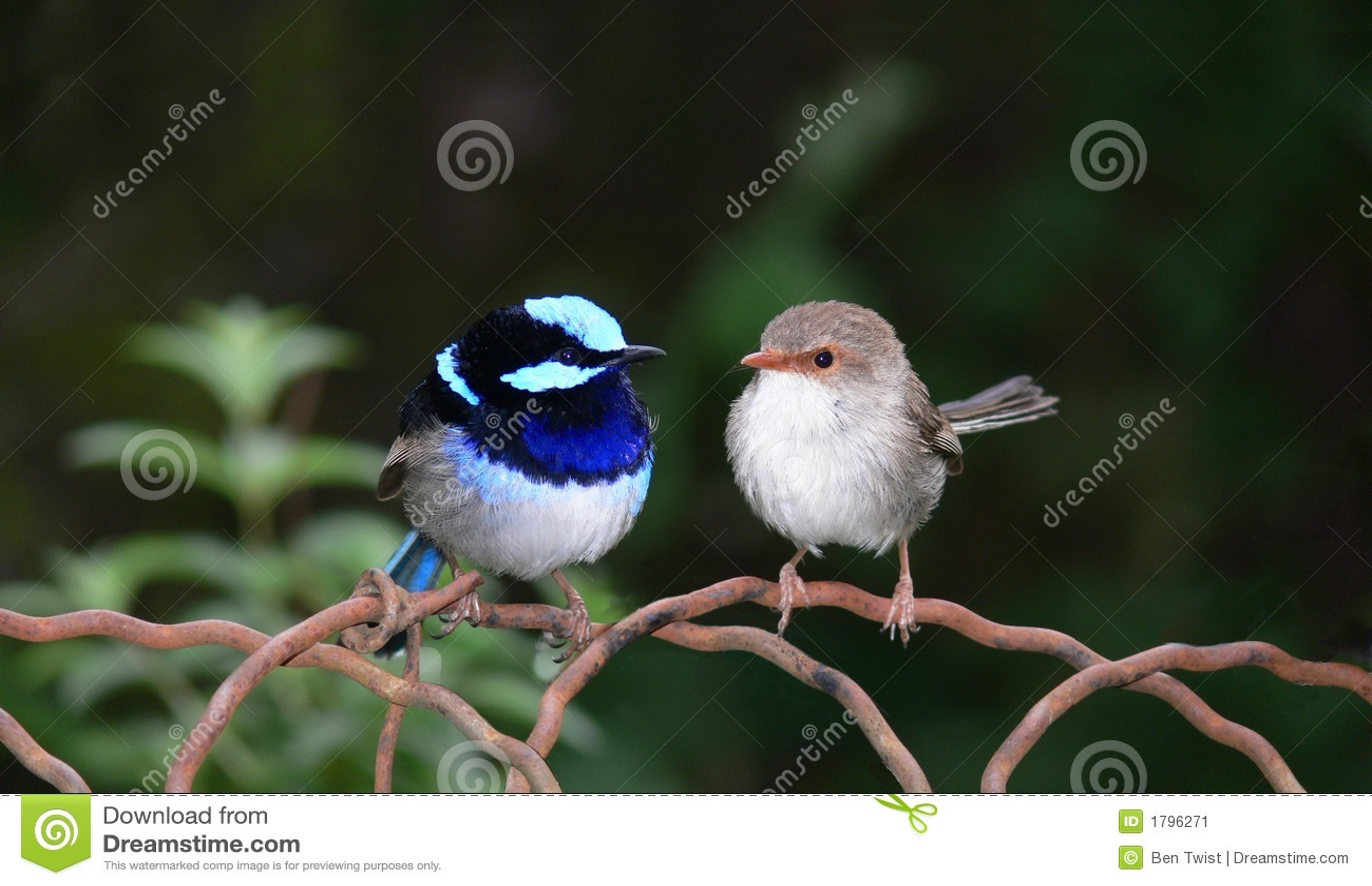 Grossartige Blaue Feenhafte Zaunkonige Stockbild Bild Von Betauben