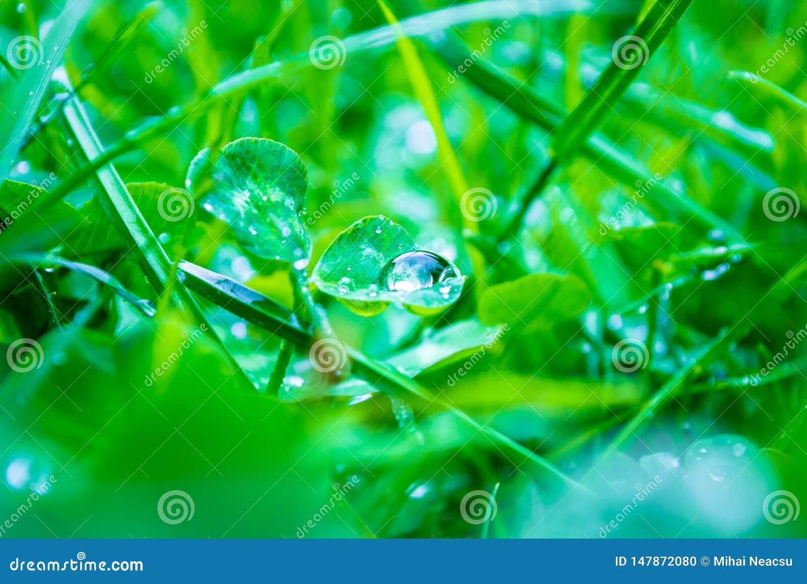 Großartiger Abschluss oben eines Regentautropfens auf einem Kleeblatt mit dem Licht, das des es, zentrierten, unscharfen grünen G