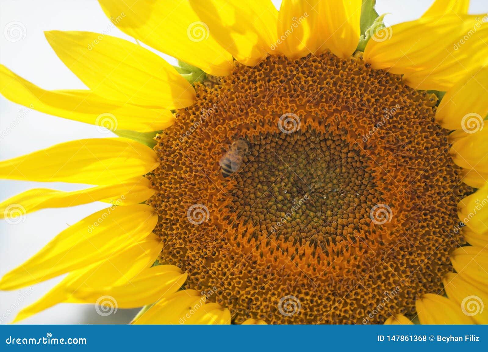 Großaufnahme der Biene auf Sonnenblume