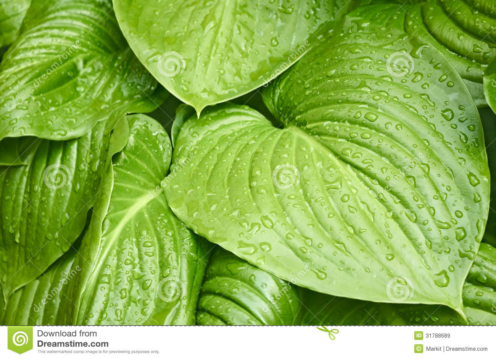 Gro e bl tter von hosta mit wassertropfen lizenzfreie for Design von zierpflanzen