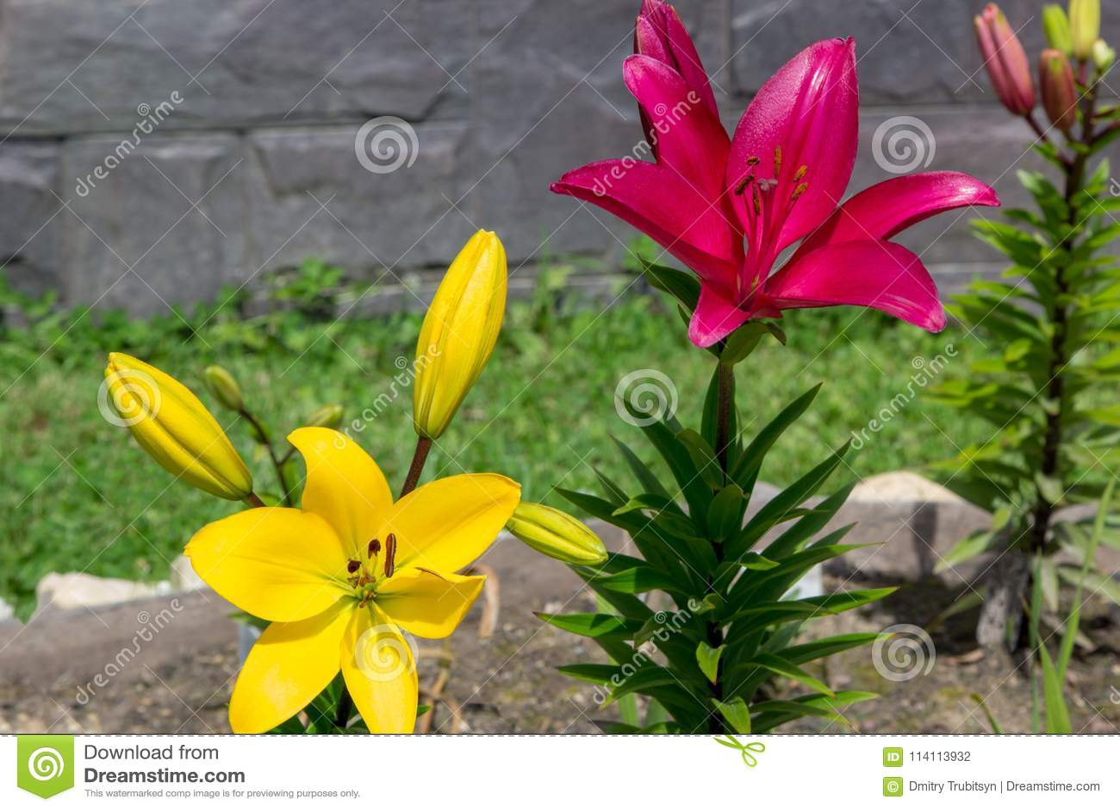 Große Blumen Von Roten Und Gelben Lilien Im Garten Stockfoto Bild