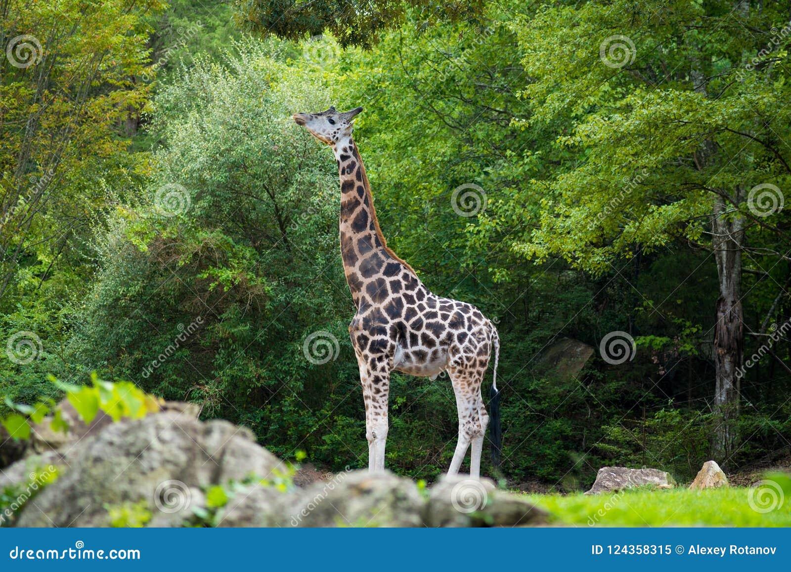 Große Giraffe in seinem natürlichen Lebensraum