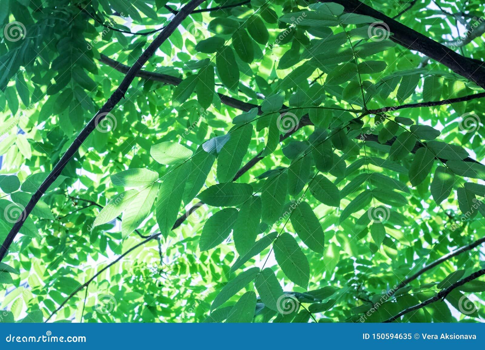 Große grüne Blätter auf Baumasten schließen oben