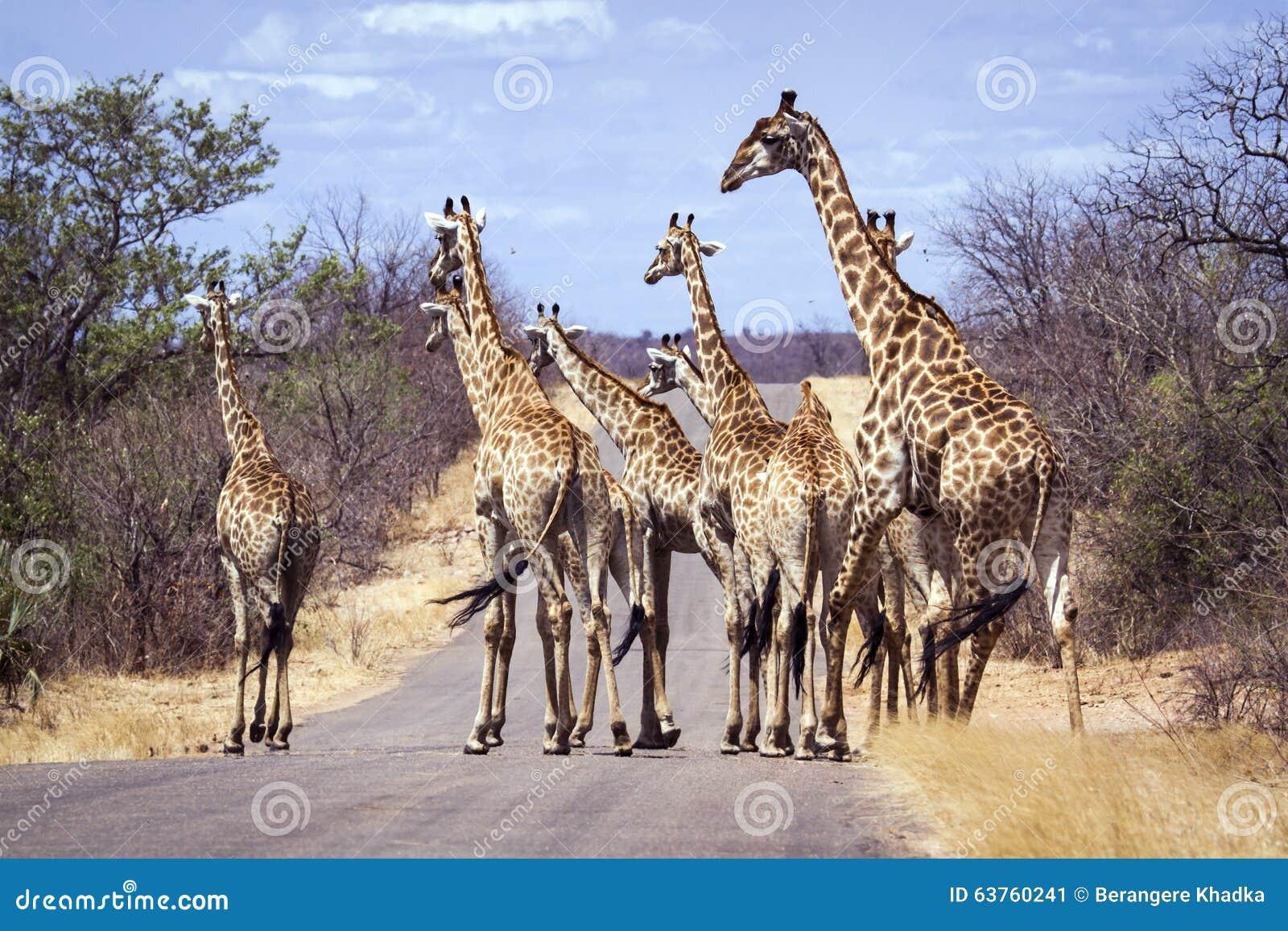 Große Gruppe Giraffen in Nationalpark Kruger, Südafrika