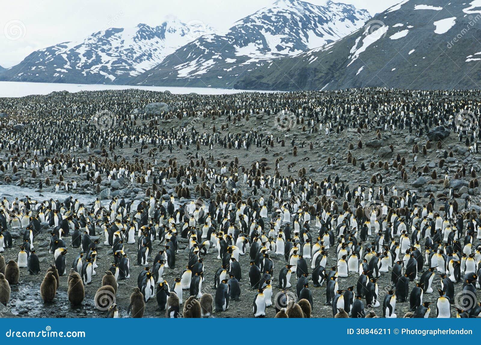 Große Kolonie von Pinguinen