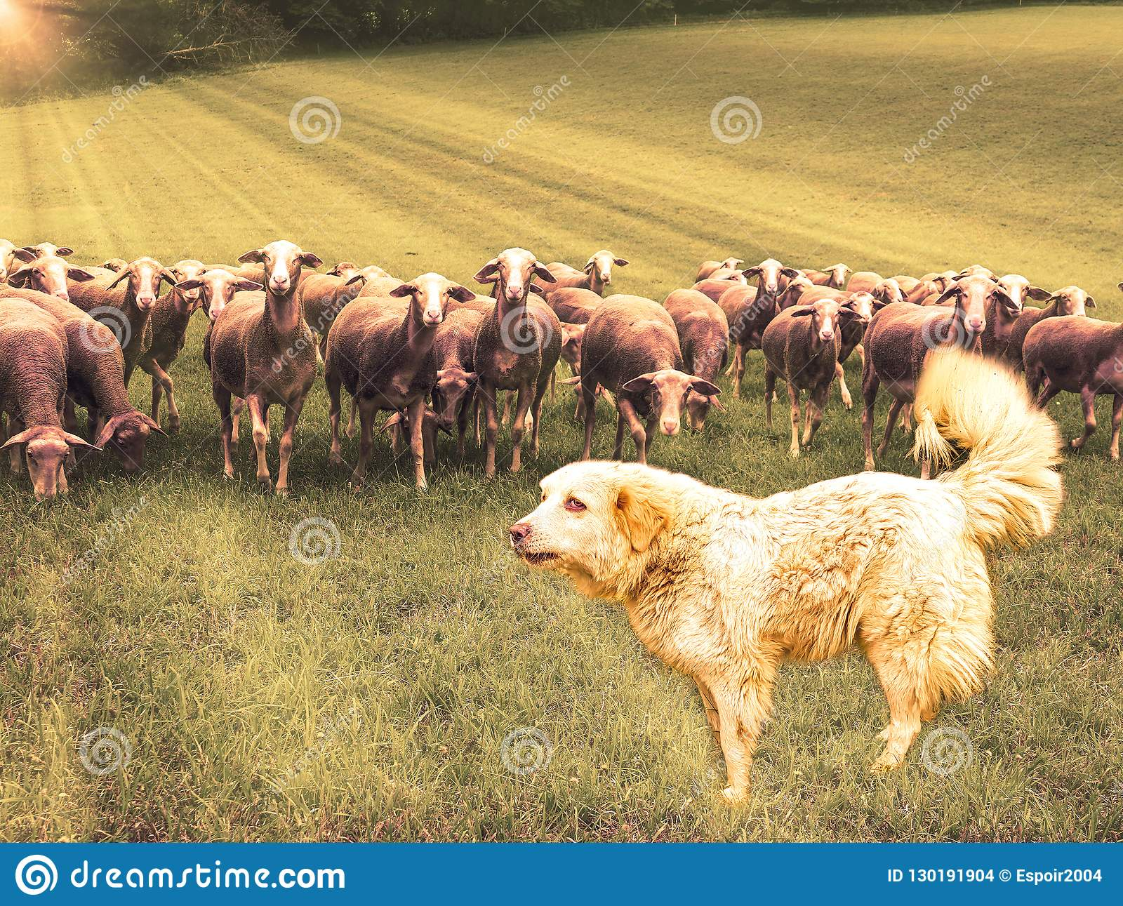 Große Pyrenäen-Hund Patou und Gruppe Schafe auf dem Feld in den Strahlen des aufgehende Sonne