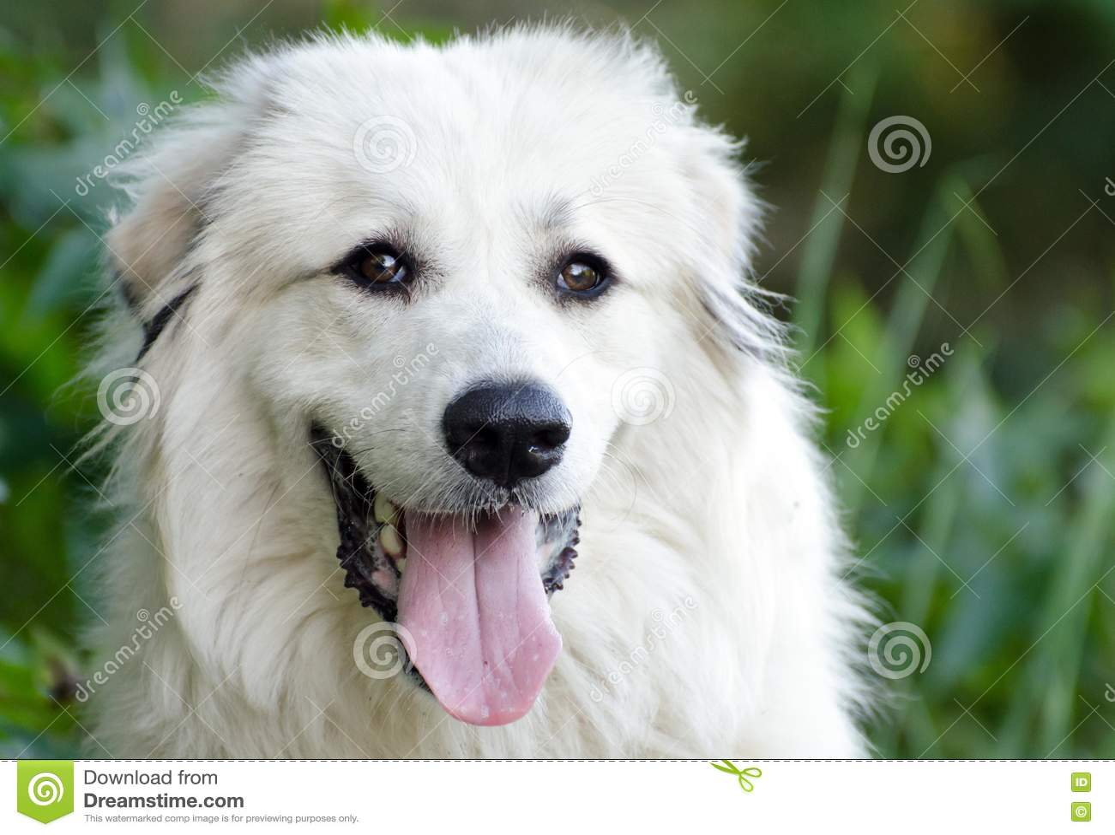 Große Pyrenees-Hund
