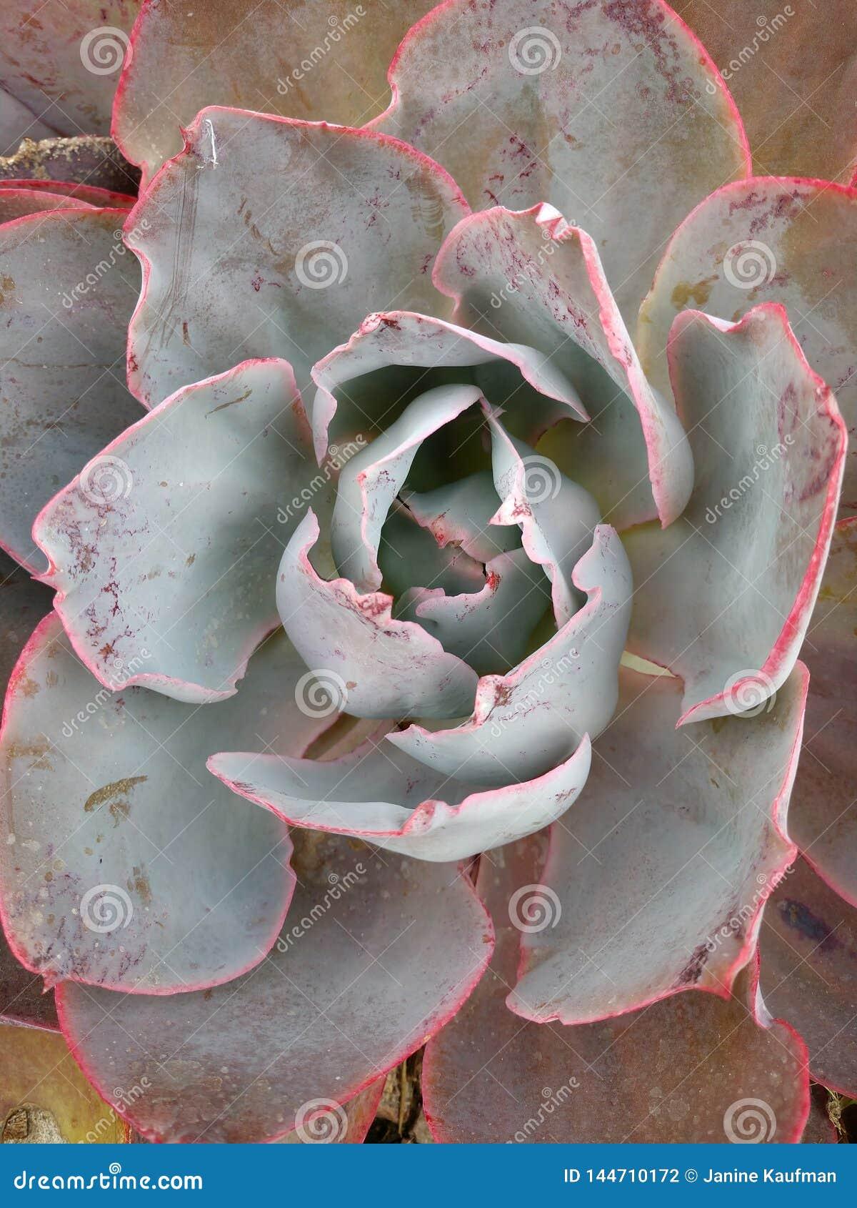 Große rote hellgrüne saftige wächserne Blätter Echeveria-Kaktus schließen oben