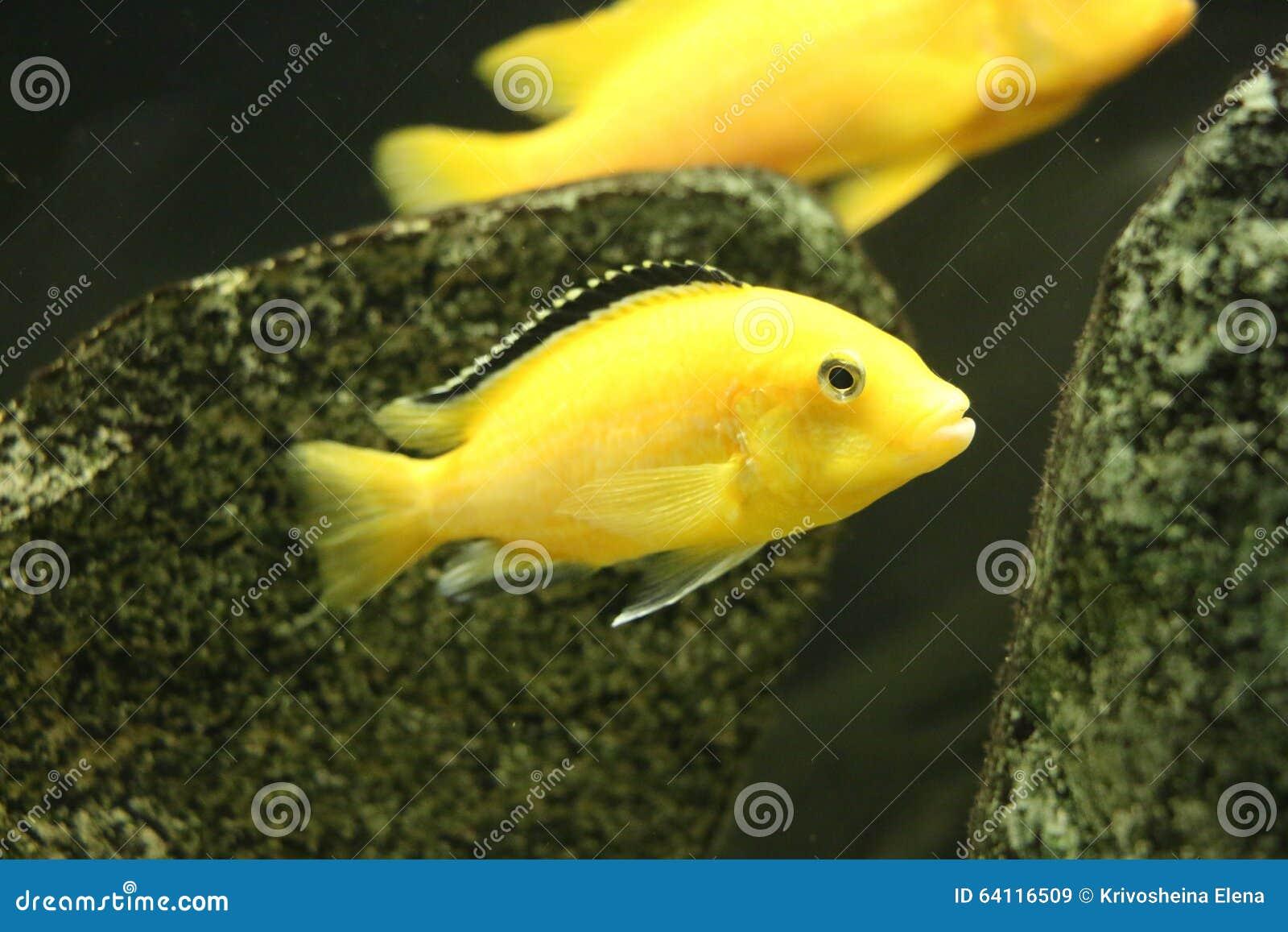 gro e sch ne fische unterwasser in einem aquarium stockbild bild von fische aquarium 64116509. Black Bedroom Furniture Sets. Home Design Ideas