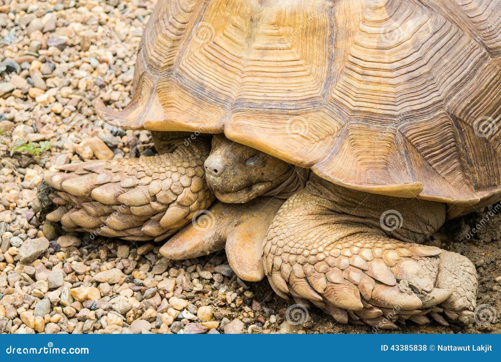 Grosse Schildkroten Schlafen Stockfoto Bild Von Reptil Gross 43385838