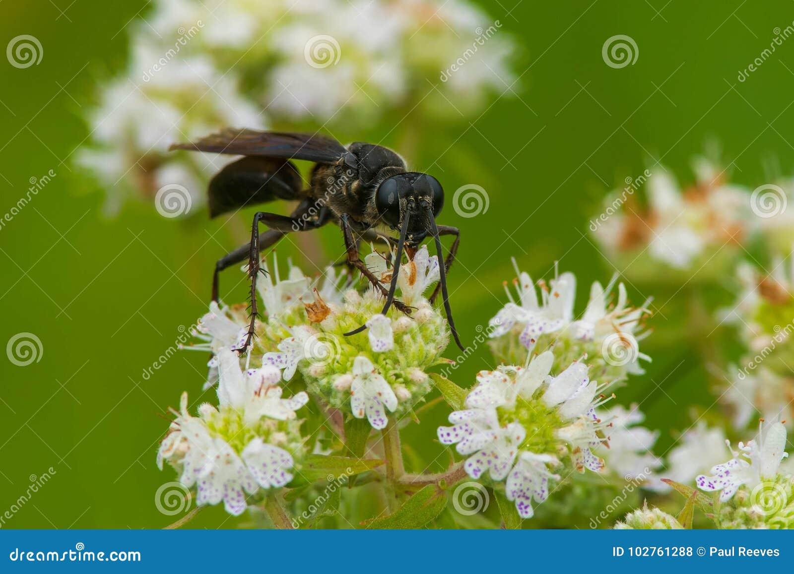 Große Schwarze Wespe Stockfoto Bild Von Umgebung Wespe 102761288
