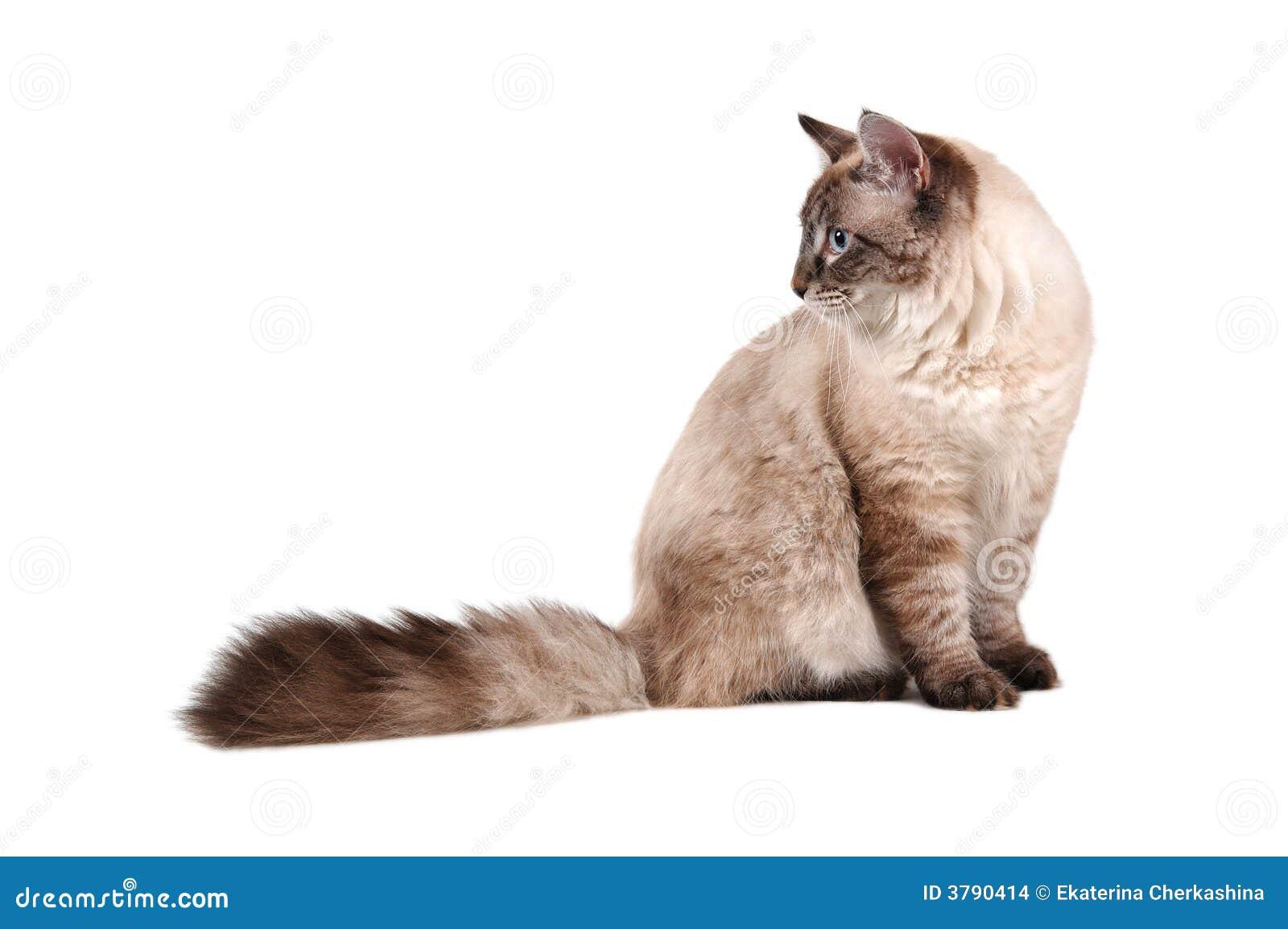 Große sibirische Katze