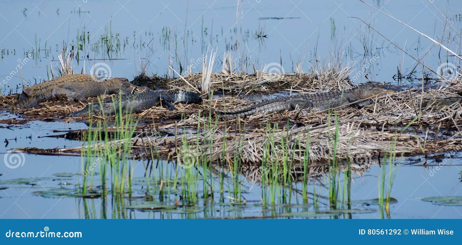 Große Stier-Alligatoren, Savannah National Wildlife Refuge