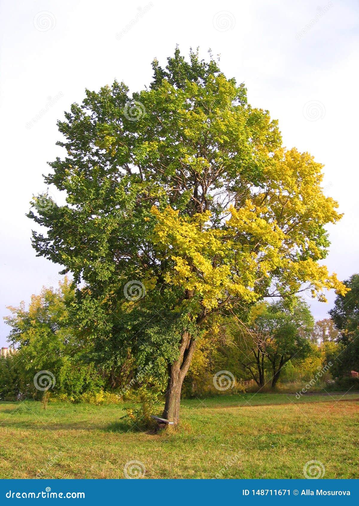 Gro?er ausbreitender Baum mit den gelben und gr?nen Bl?ttern des Herbstes in der Wiese in der malerischen Landschaft des Herbstes