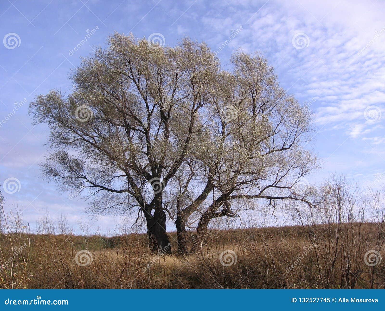 Großer ausgebreiteter Baum unter den Ebenen im Frühjahr