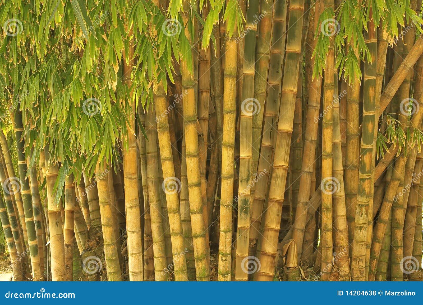 gro er bambus lizenzfreie stockfotos bild 14204638. Black Bedroom Furniture Sets. Home Design Ideas