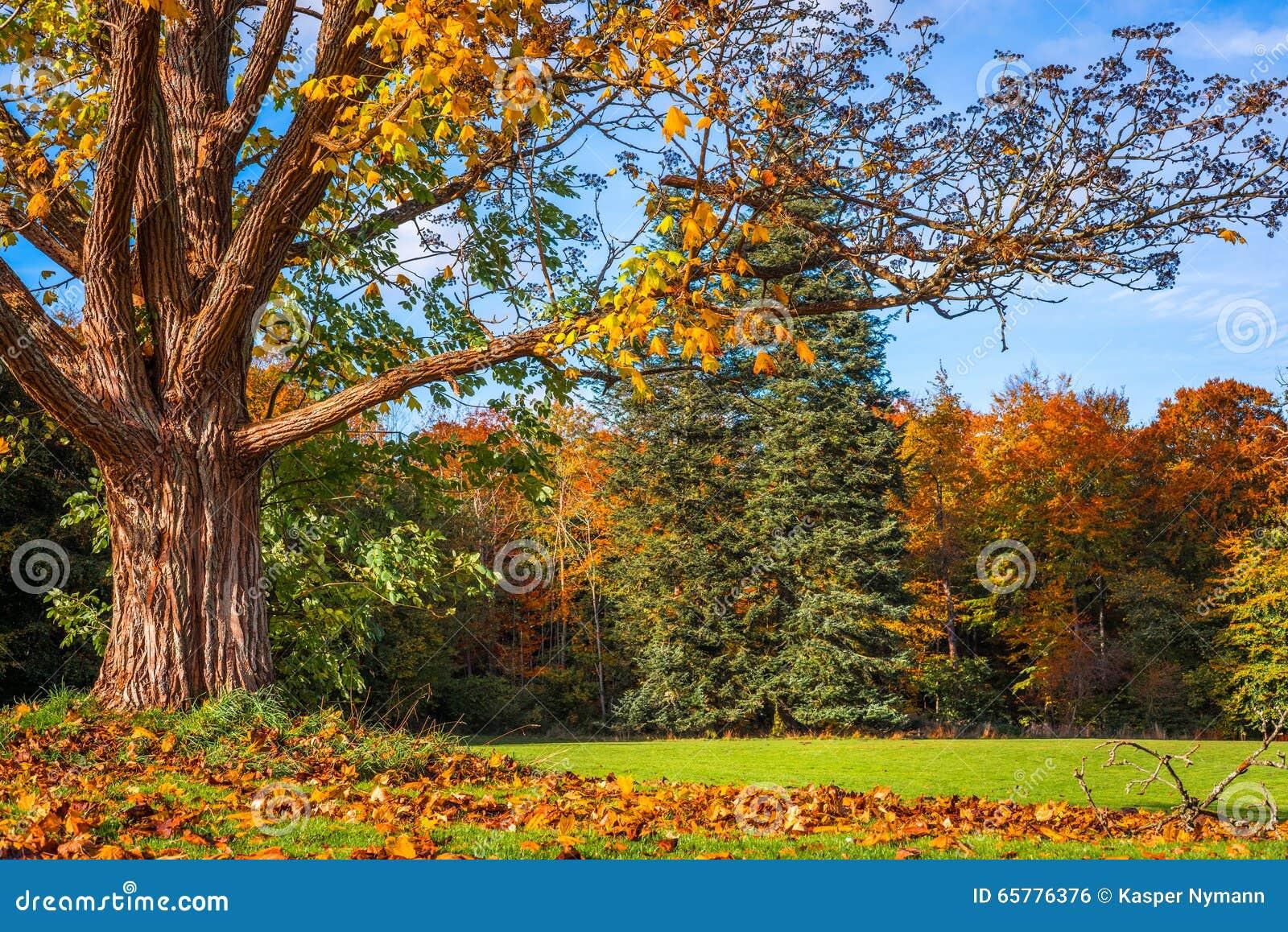 Grosser Baum Der Die Blatter Verliert Stockfoto Bild Von Golden