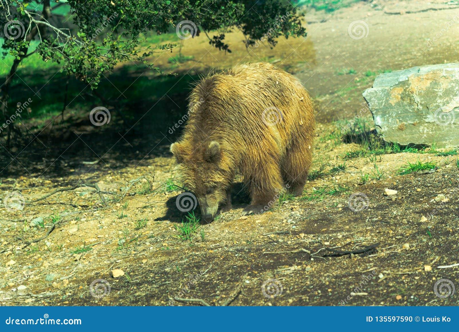 Großer Braunbär - Tier, lebender Organismus, Säugetiere