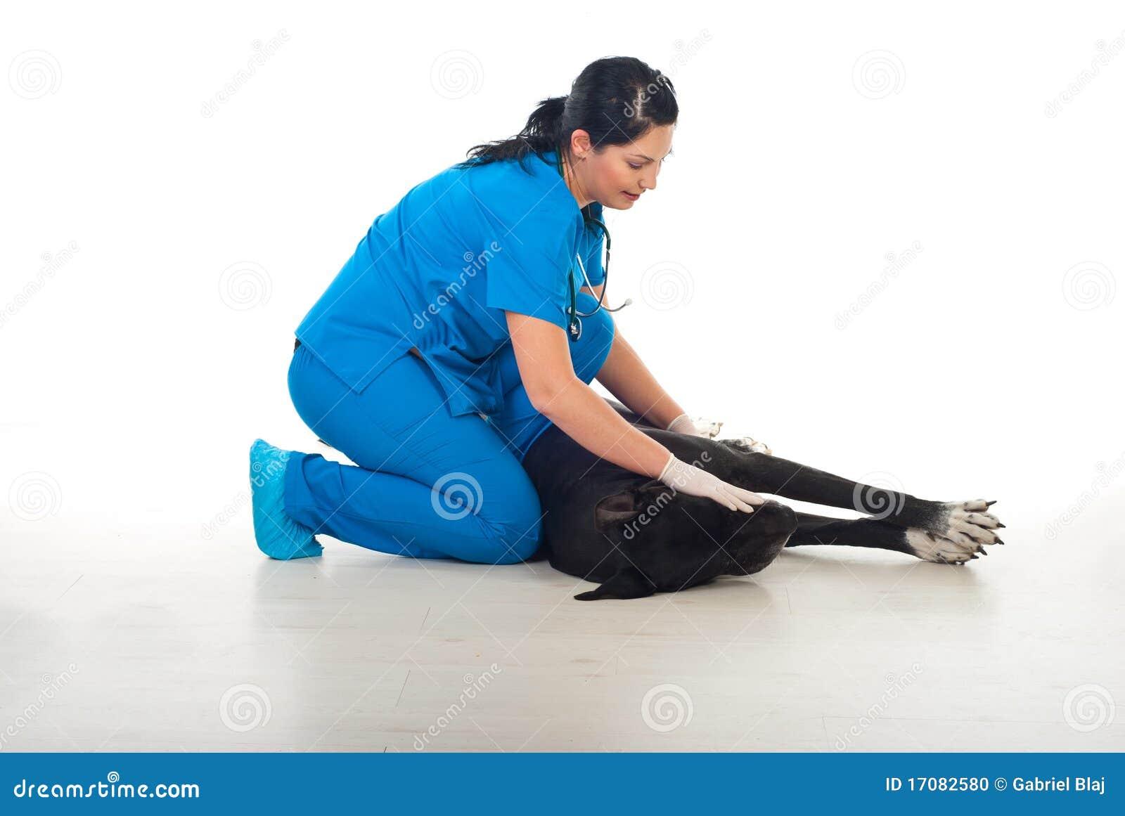 Großer Däne, der sich am Tierarzt hinlegt