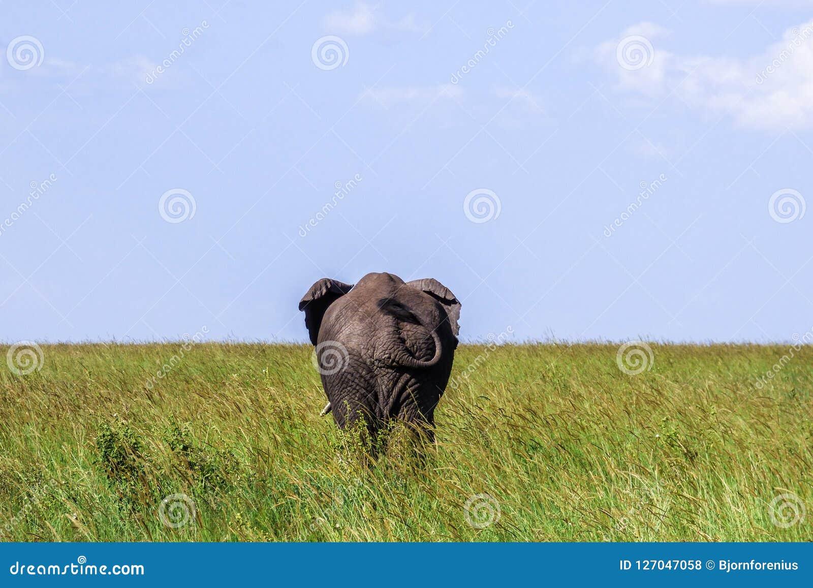 Großer einsamer Elefant zeigt den Kolben auf der Savanne in Serengeti