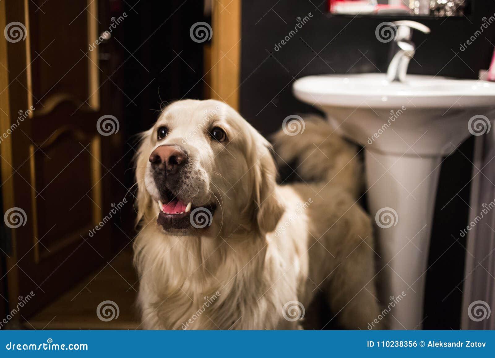 Großer glücklicher Hund, der in einem beiseite schauenden und lächelnden Badezimmer steht