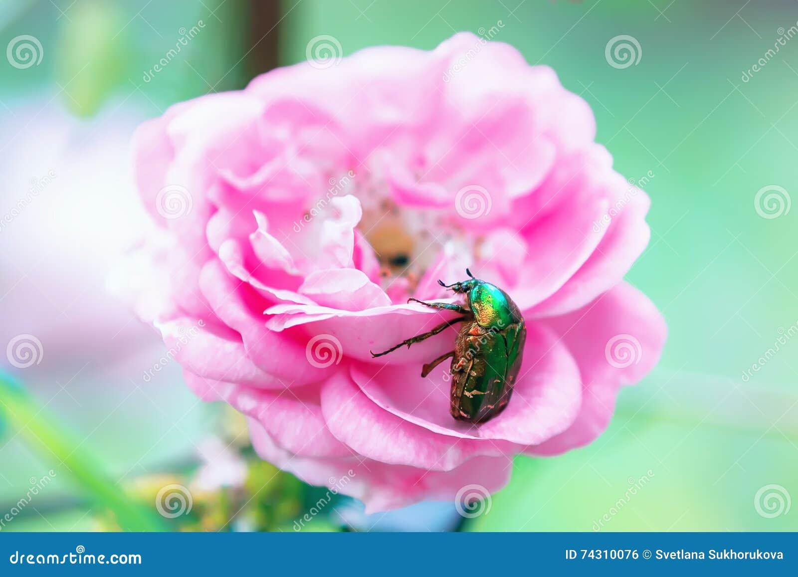Großer grüner käfer