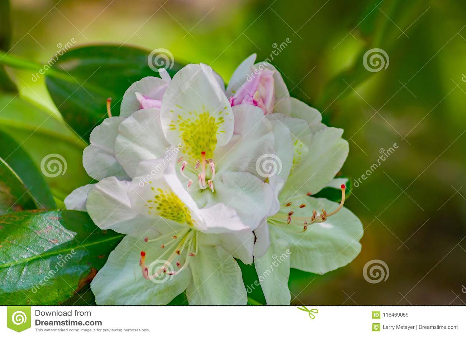 Großer Lorbeer - Rhododendronmaximum
